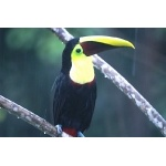Chestnut-mandibled Toucan. Photo by Barry Ulman. All rights reserved.