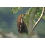 Rufescent Tiger-Heron. Photo by Barry Ulman. All rights reserved.