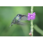 Violet-headed Hummingbird on Vervain blossom. Photo by Barry Ulman. All rights reserved.