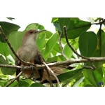 Puerto Rican Lizard-Cuckoo. Photo by Gabriel Lugo. All rights reserved.