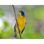Male Antillean Euphonia. Photo by Julio Salgado. Copyright Julio Salgado. All rights reserved.