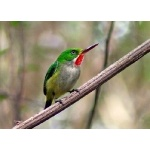 Puerto Rican Tody. Photo by Julio Salgado. Copyright Julio Salgado. All rights reserved.