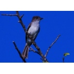 Puerto Rican Flycatcher. Photo by Julio Salgado. Copyright Julio Salgado. All rights reserved.