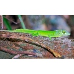 Cuvier's Anole. Photo by Julio Salgado. Copyright Julio Salgado. All rights reserved.
