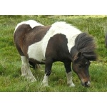 Shetland Pony. Photo by Rick Taylor. Copyright Borderland Tours. All rights reserved.