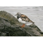Ruddy Turnstone. Photo by Richard Fray. All rights reserved.