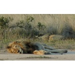 African Lion lying. Photo by Rick Taylor. Copyright Borderland Tours. All rights reserved.
