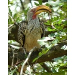 Southern Yellow-billed Hornbill. Photo by Rick Taylor. Copyright Borderland Tours. All rights reserved.