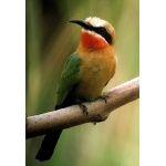 White-fronted Bee-eater. Photo by Rick Taylor. Copyright Borderland Tours. All rights reserved.