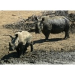 White Rhinos at waterhole. Photo by Rick Taylor. Copyright Borderland Tours. All rights reserved.