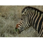 Common Zebra. Photo by Rick Taylor. Copyright Borderland Tours. All rights reserved.