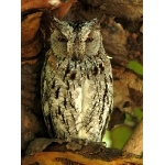 African Scops-Owl. Photo by Rick Taylor. Copyright Borderland Tours. All rights reserved.