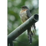 Red-chested Cuckoo at our lodge. Photo by Rick Taylor. Copyright Borderland Tours. All rights reserved.