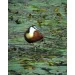 African Jacana. Photo by Rick Taylor. Copyright Borderland Tours. All rights reserved.