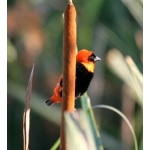 Southern Red Bishop. Photo by Adam Riley.  All rights reserved.
