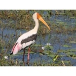 Painted Stork. Photo by Keith Valentine. All rights reserved.