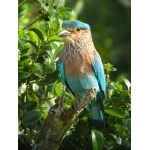 Indian Roller. Photo by Rick Taylor. Copyright Borderland Tours. All rights reserved.