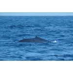 Blue Whale off the coast of Merissa. Photo by Rick Taylor. Copyright Borderland Tours. All rights reserved.