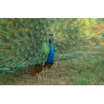 Indian Peafowl. Photo by Rick Taylor. Copyright Borderland Tours. All rights reserved.