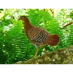 Hen Ceylon Junglefowl. Photo by Rick Taylor. Copyright Borderland Tours. All rights reserved.