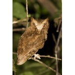 Serendib Scops-Owl. Photo by Dave Semler. All rights reserved.