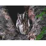 Eastern Screech-Owl. Photo by Rick Taylor. Copyright Borderland Tours. All rights reserved.