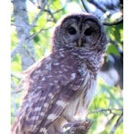 Barred Owl. Photo by Rick Taylor. Copyright Borderland Tours. All rights reserved.