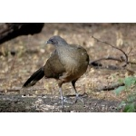 Plain Chachalaca. Photo by Joe Faulkner. All rights reserved.