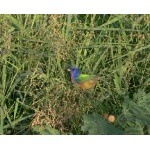 Painted Bunting. Photo by Rick Taylor. Copyright Borderland Tours. All rights reserved.
