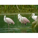 Roseate Spoonbills. Photo by Rick Taylor. Copyright Borderland Tours. All rights reserved.