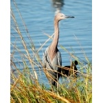 Reddish Egret 2. Photo by Joe Faulkner. All rights reserved.