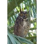 Great Horned Owl. Photo by Mark Rosenstein. All rights reserved.