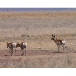 Pronghorns near Valentine. Photo by Rick Taylor. Copyright Borderland Tours. All rights reserved.