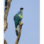 Great Blue Turaco. Photo by Dave Semler and Marsha Steffen. All rights reserved.