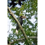 White-thighed Hornbill. Photo by Dave Semler and Marsha Steffen. All rights reserved.