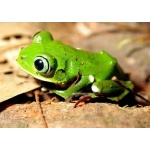 White-liped Tree-Frog. Photo by Adam Riley. All rights reserved.