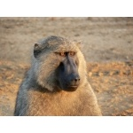Olive Baboon. Photo by Dave Semler and Marsha Steffen. All rights reserved.