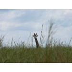 Giraffe in Murchison Falls National Park. Photo by Rick Taylor. Copyright Borderland Tours. All rights reserved.