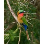 Red-throated Bee-eater. Photo by Dave Semler and Marsha Steffen. All rights reserved.