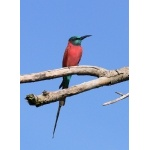 Northern Carmine Bee-eater. Photo by Rick Taylor. Copyright Borderland Tours. All rights reserved.