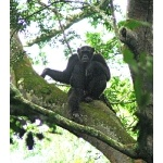 Chimpanzee Standing Sentinel. Photo by Rick Taylor. Copyright Borderland Tours. All rights reserved.