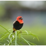 Southern Red Bishop. Photo by Dave Semler and Marsha Steffen. All rights reserved.