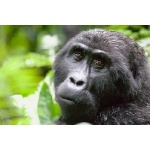 Adult Female Mountain Gorilla. Photo by Dave Semler & Marsha Steffen. All rights reserved.