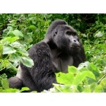 Adult Male Silverback. Photo by Rick Taylor. Copyright Borderland Tours. All rights reserved.