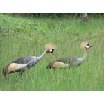 Gray Crowned-Cranes at Lake Mburo National Park. Photo by Rick Taylor. Copyright Borderland Tours. All rights reserved.
