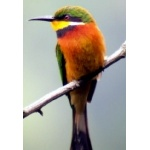 Cinnamon-breasted Bee-eater. Photo by Adam Riley. All rights reserved.