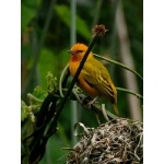 Orange Weaver. Photo by Rick Taylor. Copyright Borderland Tours. All rights reserved.