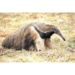 Giant Anteater. Photo by Chris Sharpe. All rights reserved.