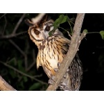 Striped Owl. Photo by Art Magilner. All rights reserved.