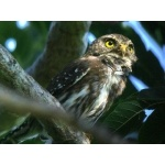 Ferruginous Pygmy-Owl. Photo by Rick Taylor. All rights reserved.
